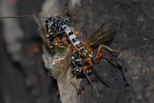 Epirhyssa sapporensis