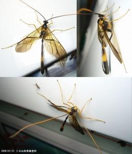 Stauropoctonus bombycivorus variegatus