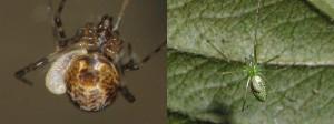 Acrodactyla sp.