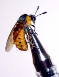 Agenocimbex jucunda