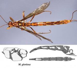 Megarhyssa gloriosa