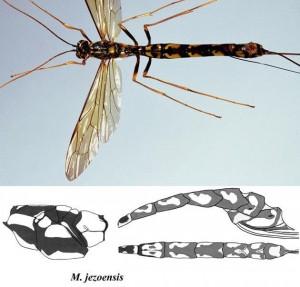 Megarhyssa jezoensis