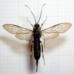 Urocerus antennatus