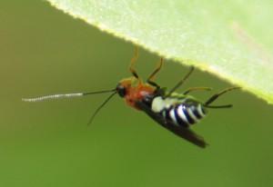 Braconidae gen. sp.