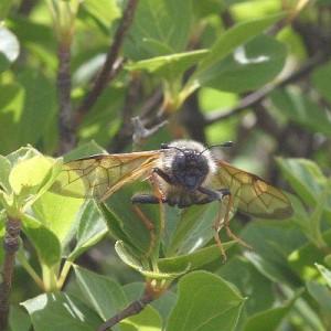 Trichiosoma lucorum