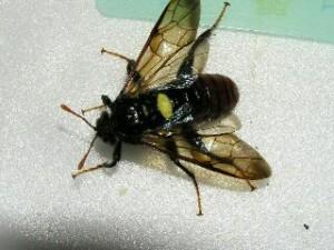 Cimbex connatus taukushi