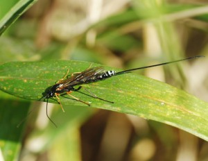 Dolichomitus sp.