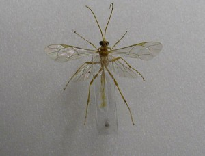 Ichneumonidae sp.