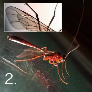 Enicospilus shikokuensis