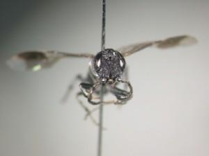 Stiricorsia tosensis