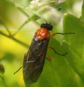 Athalia japonica
