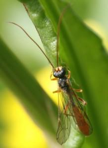 Hadrodactylus orientalis