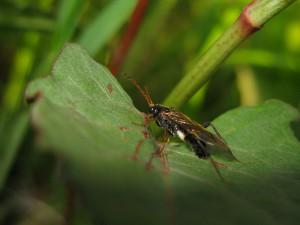 Taxonus fulvicornis