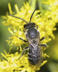Lasioglossum occidens