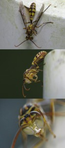 Parapolybia varia