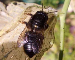 Megachile sumizome