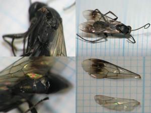 Pompilidae gen. sp.
