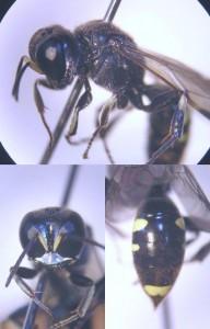 Crossocerus vagabundus esakii
