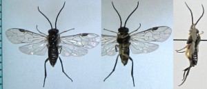 Pristiphora sp.