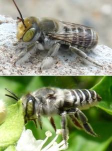 Megachile kobensis