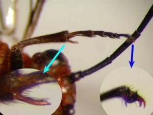 Nematinus sp.
