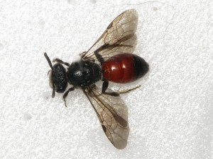 Sphecodes. sp