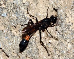 Hoplammophila aemulans