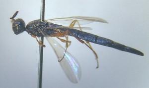 Scelionidae gen. sp.