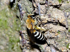 Colletes esakii
