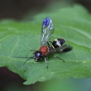 Poecilogonalos fasciata kibunensis