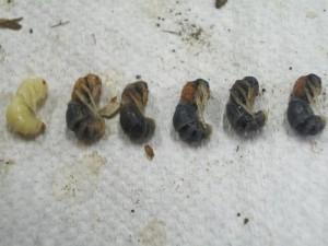 Mutilla europaea mikado