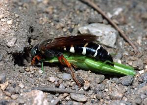 Stizus pulcherrimus
