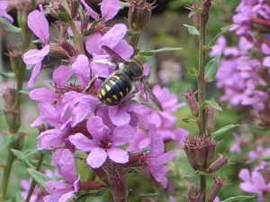 Anthidium septemspinosum