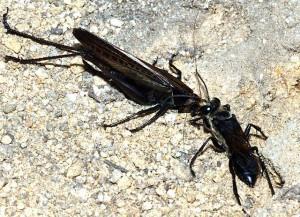 Sphex argentatus argentatus