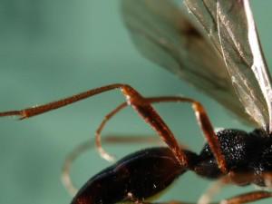 Proctotrupidae gen. sp.
