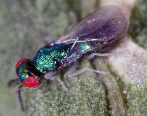 Chrysocharis pentheus