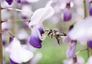 Megachile japonica