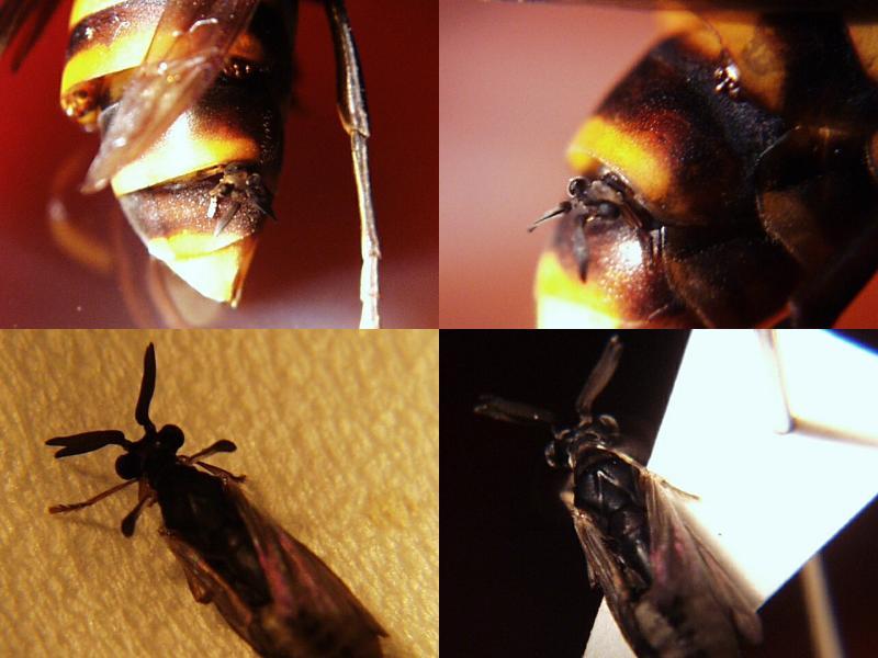 ネジレバネ スズメバチ