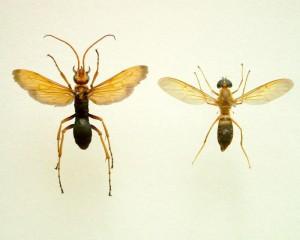 Cyphononyx fulvognathus