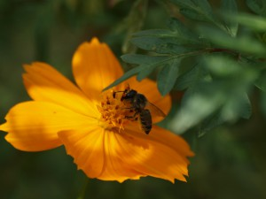 Megachilidae gen. sp.