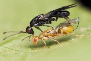 Hymenoptera sp.