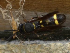 Leucospis japonica