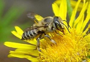 Megachile subalbuta