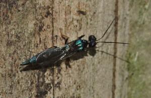 Eupelmidae gen. sp.