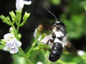 Megachile disjunctiformis