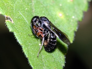 Myrmosa nigrofasciata