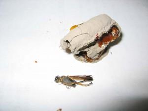 Sceliphron madraspatanum kohli