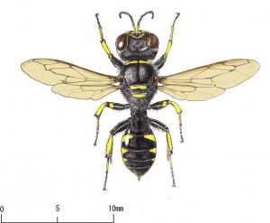 Ectemnius cavifrons aurarius