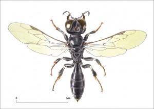 Crossocerus sp.