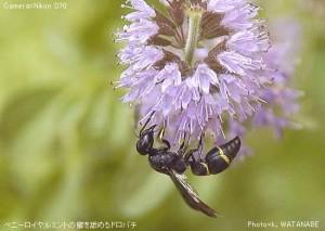 Stenodynerus chinensis simillimus